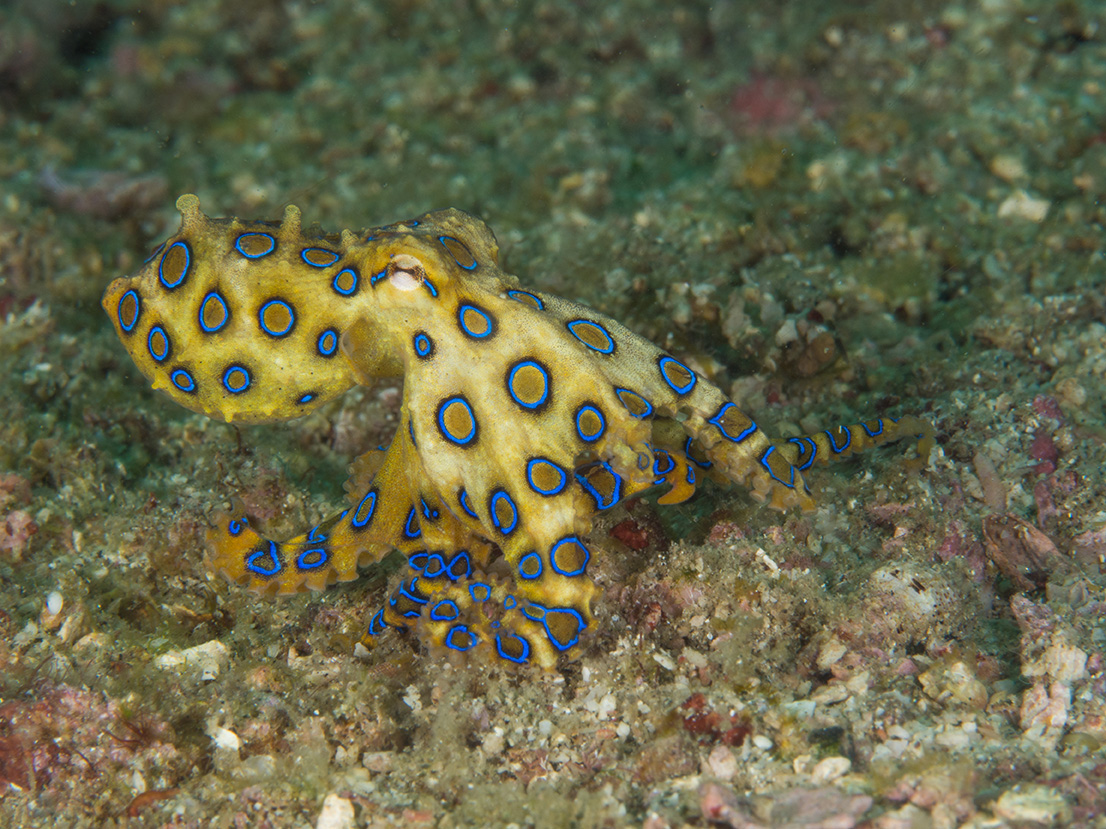 Blue ringed octopus baby