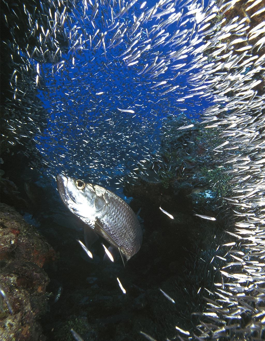Divers can get quite a thrill when a school of silversides bursts open and scatters as a marauding tarpon lunges through the center of the swirling mass.