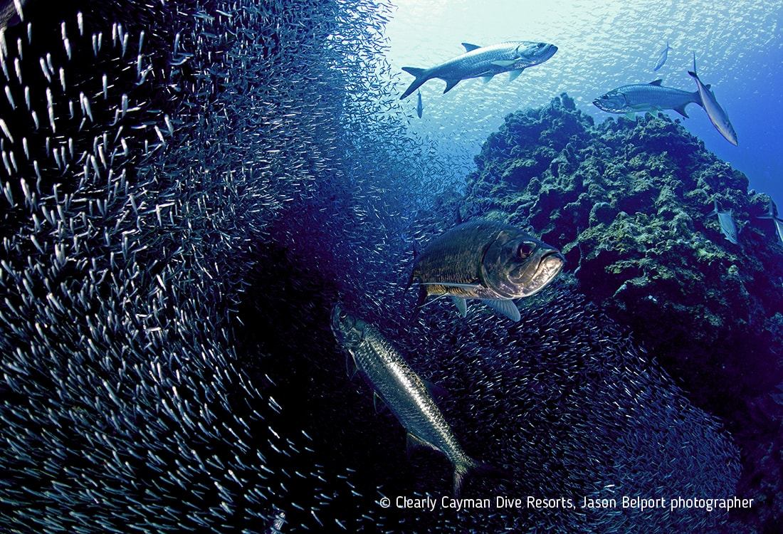 Like a silvery aquatic wolf pack, a group of tarpon converges on a massive school of silversides during the annual summer migration of these tiny fish.