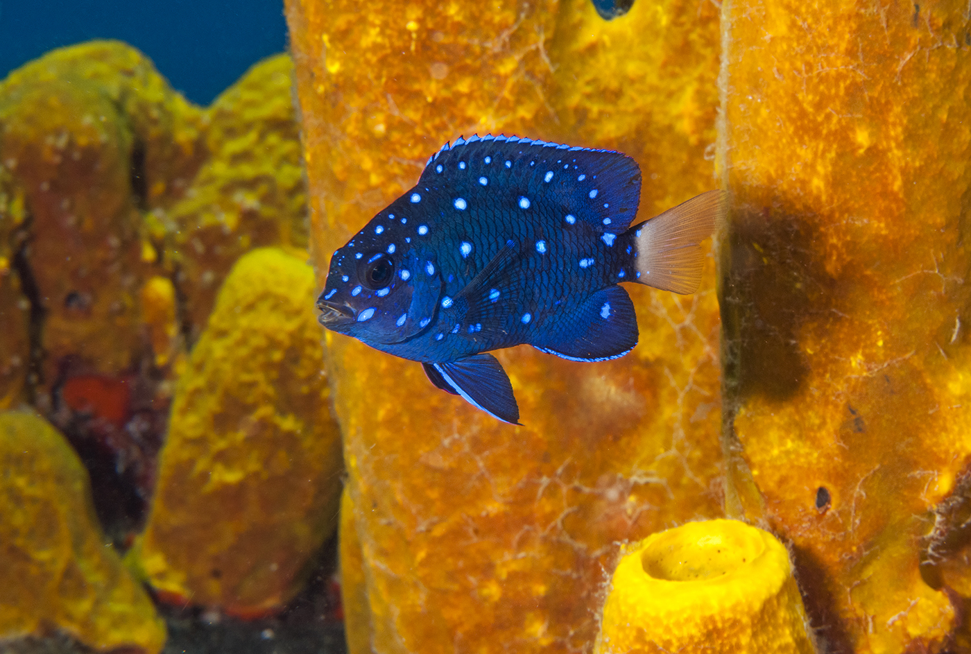The waters of Guanaja are populated by hundreds of varieties of colorful tropical fish such as this yellowtail damselfish.