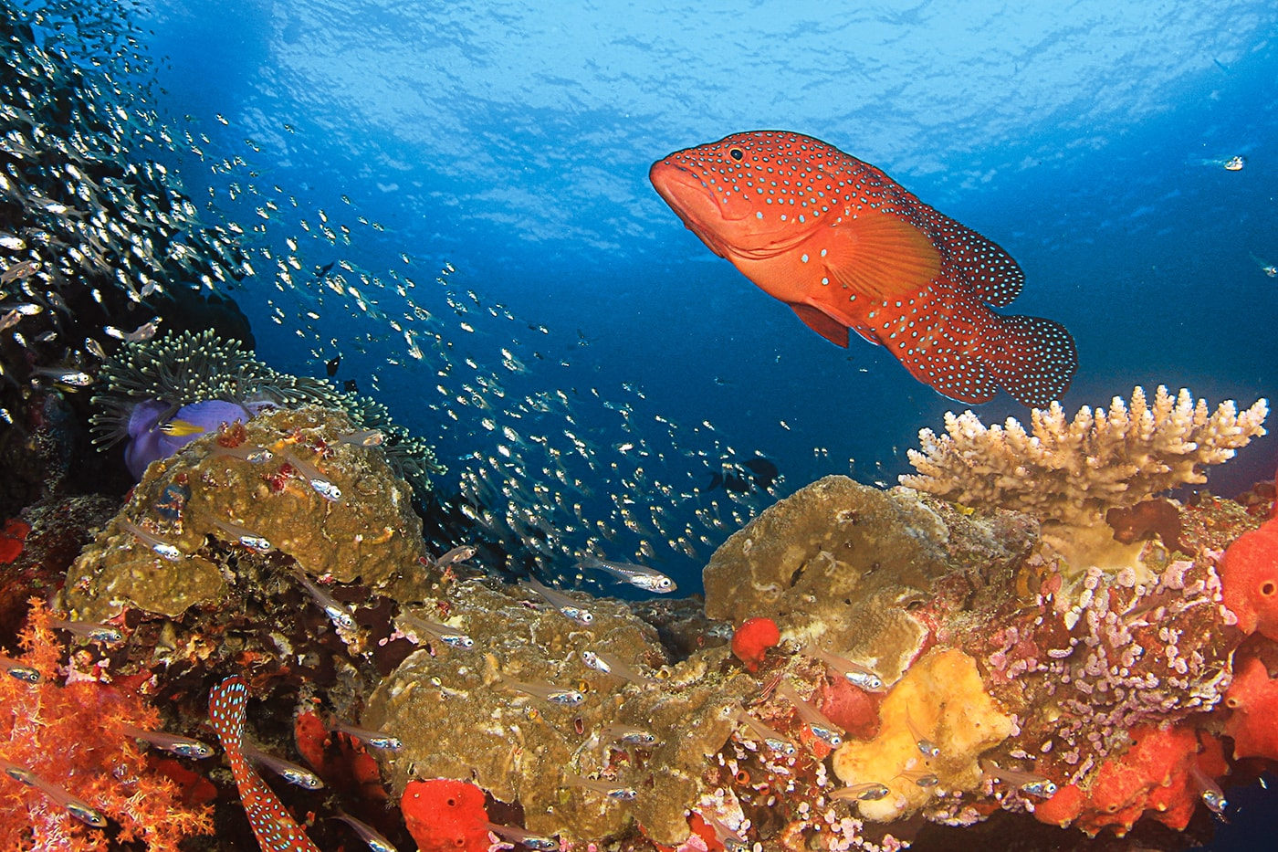 The Ribbon Reefs are managed under a strict no-take policy that provides protection for grouper and other species normally targeted by fishermen.