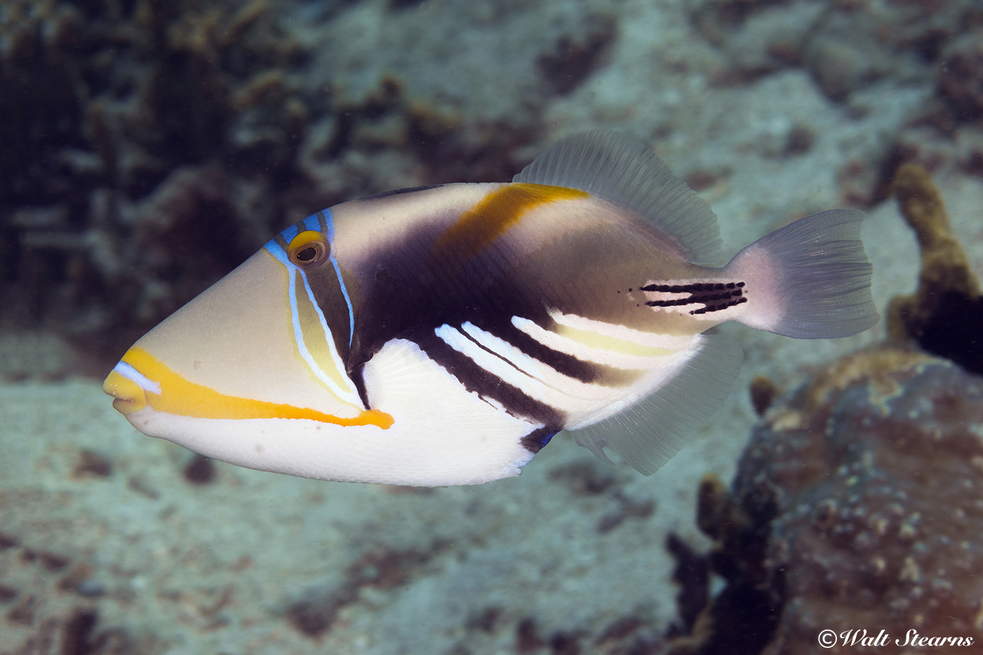 The Picasso triggerfish shows the bold color patterns typical of its namesake artist's works.