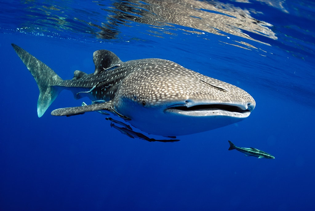 Whale sharks can be encountered year-round in the Maldives.