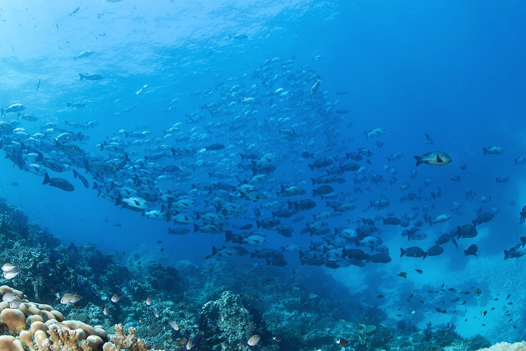The reefs of the Somosomo Straits are often covered in large schools of fish, which gather to feed on nutrients brought by the currents. Photo: Markus Roth.