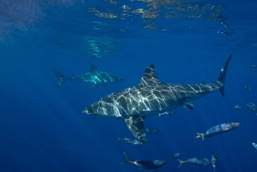 The clear waters of Guadalupe Island create ideal conditions for viewing great white sharks. Photo courtesy BigAnimals Global Expeditions