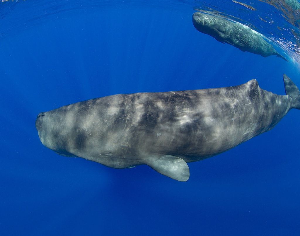 Dominica is one of the few places in the world where it is possible to swim with sperm whales.
