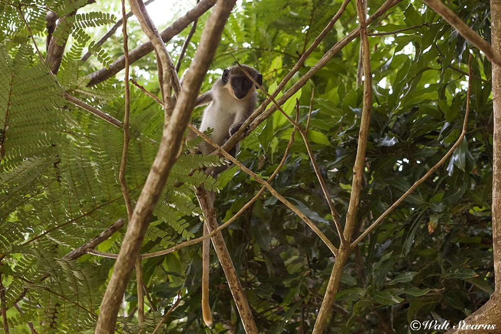Originally brought from African, vervet monkeys have lived on St. Kitts & Nevis for over 300 years.