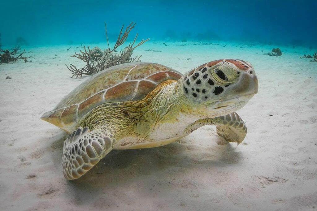 Turtles are often found on the shallow sand-bottom shelf that lies inside the reefs of Bonaire's western shore.