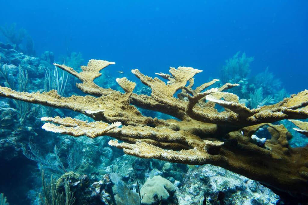 A healthy colony of elkhorn coral in the waters of Roatan near Turquoise Bay Dive & Beach Resort.