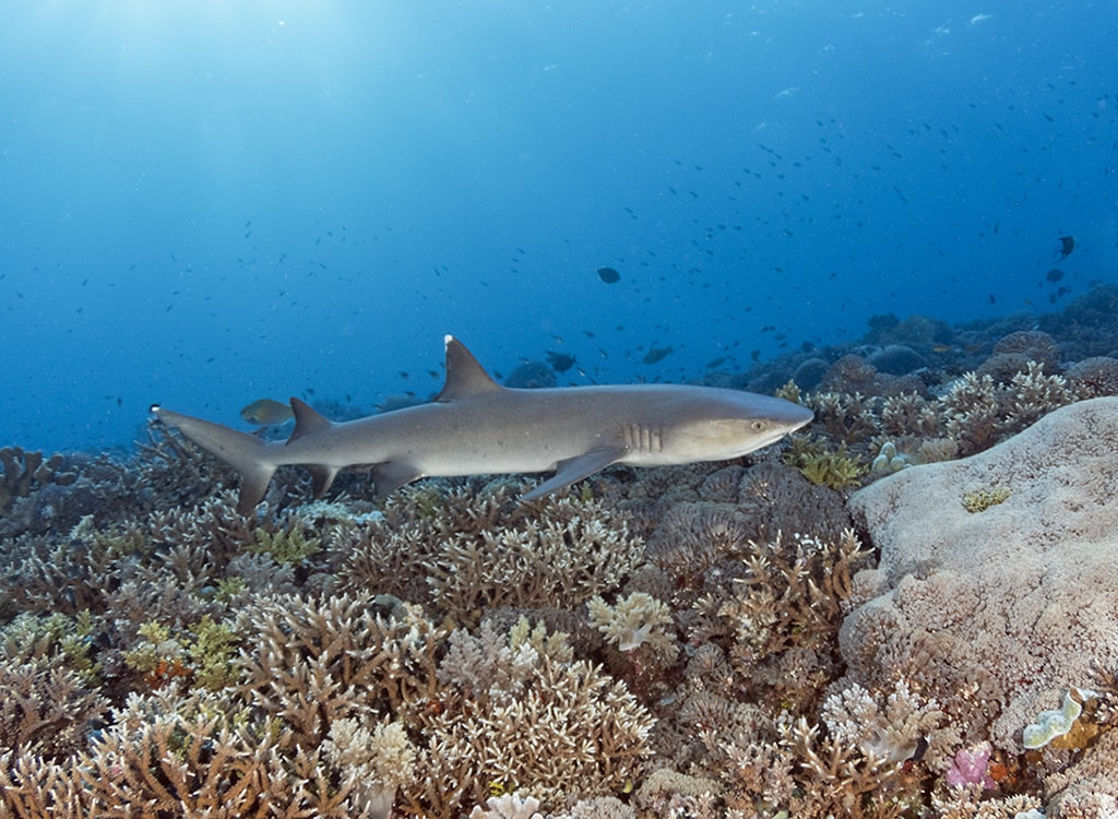 Whitetip sharks often cruise among the coral heads in search of a meal and may approach divers, as they are more curious than threatening. Photo: Walt Stearns.