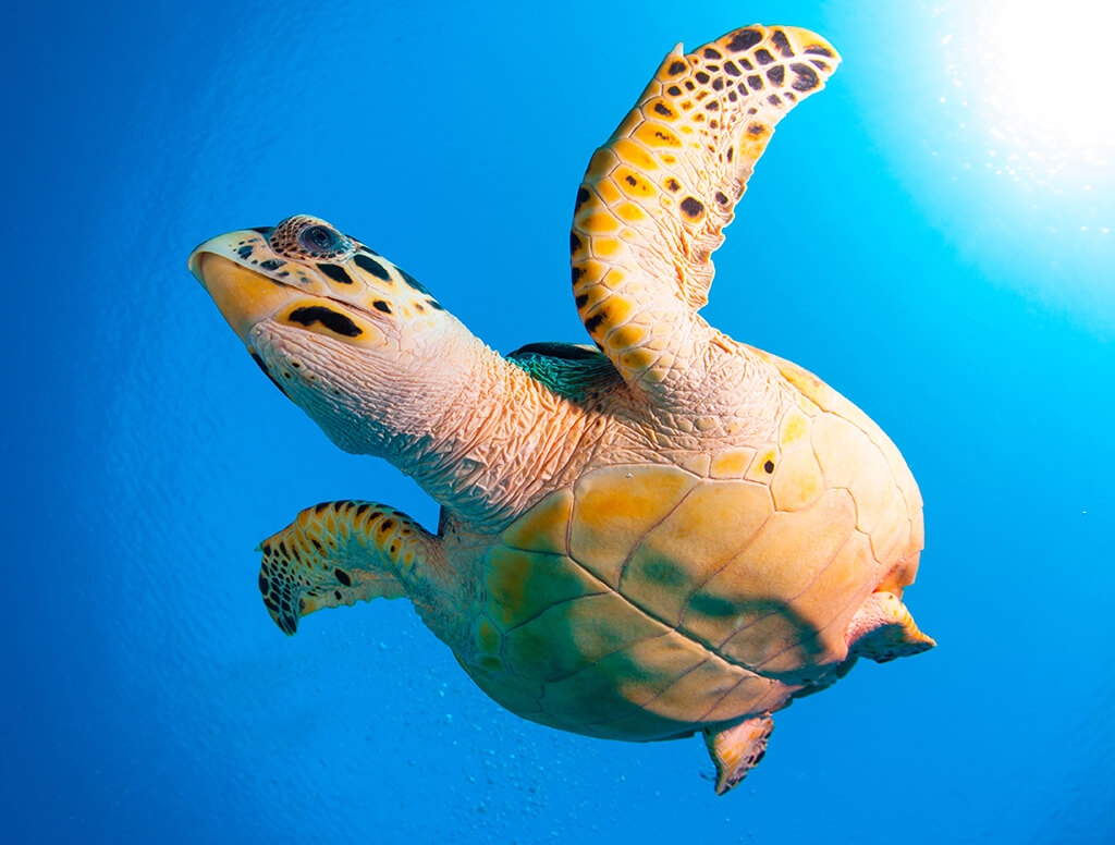 Turtle are frequent visitors to dive sites all along Grand Cayman's western shore.