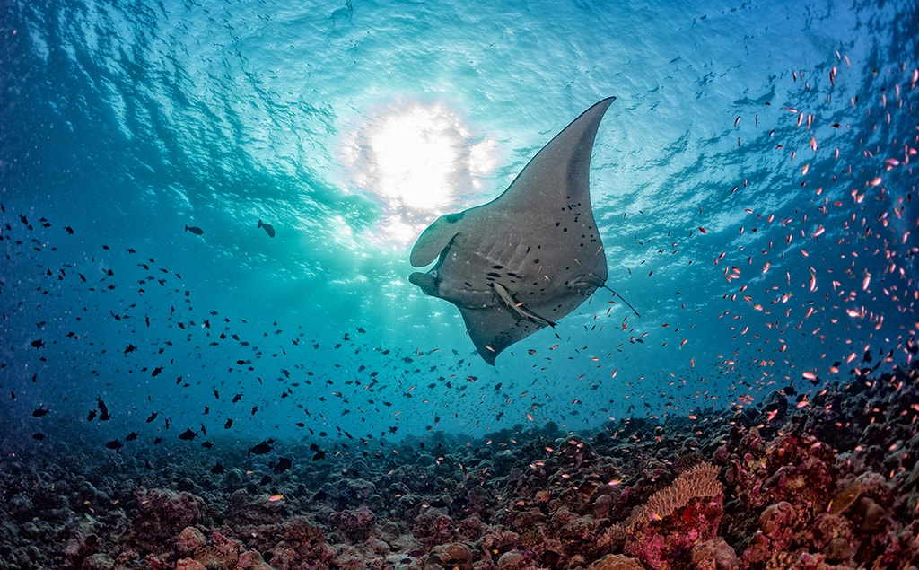 Manta cleaning stations are found on reefs across the Maldives, giving divers a thrilling chance to get close to these graceful animals.