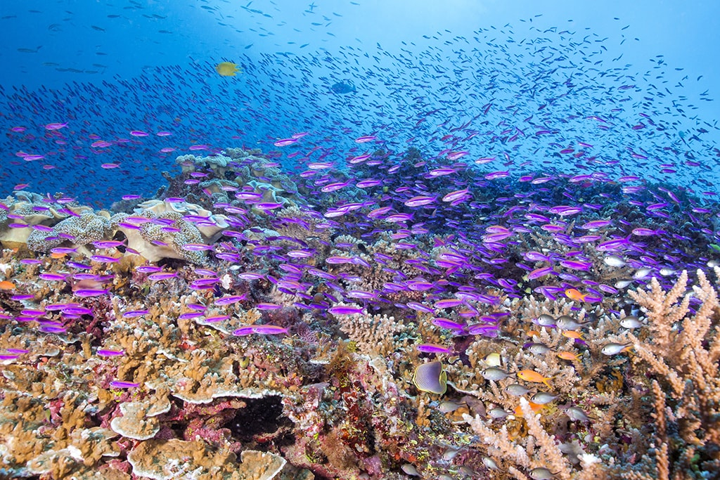 A massive shoal of colorful anthias covers a shallow reef in a moving tapestry of life. Photo Markus Roth.