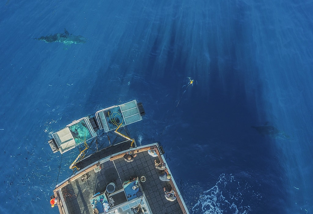An aerial view reveals two great white sharks approaching the cages deployed off the stern of the dive boat Islander. Photo courtesy BigAnimals Global Expeditions