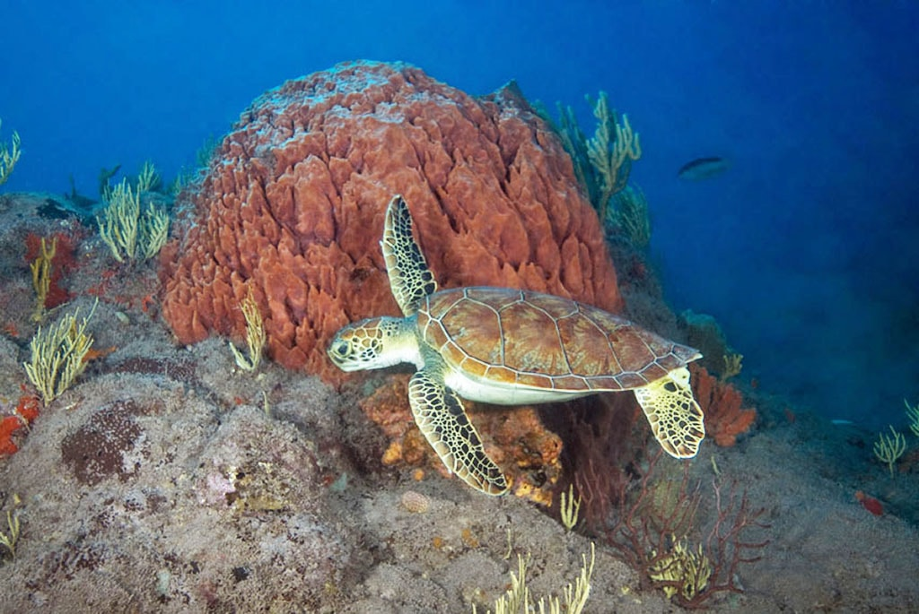 Turtle are common visitors to sites such as Paradise Reef.