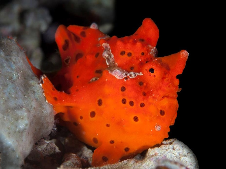 Frogfish. Photo Credit: Gino Symus.