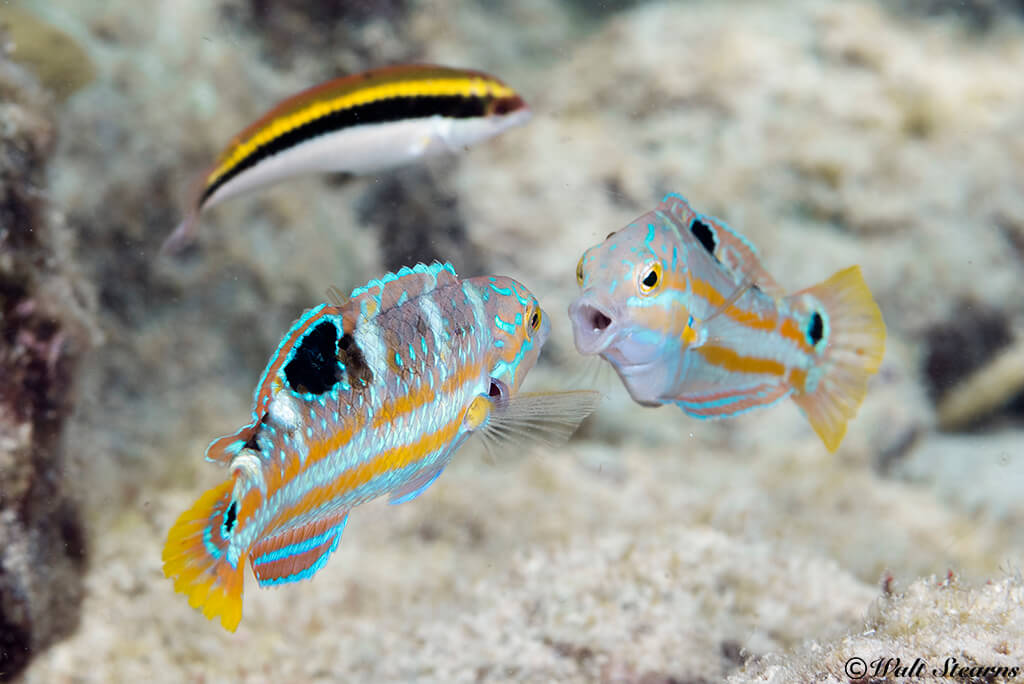 Just yards from shore, divers can run into interesting finds such as this pair of puddingwife wrasse in a head-to-head confrontation.