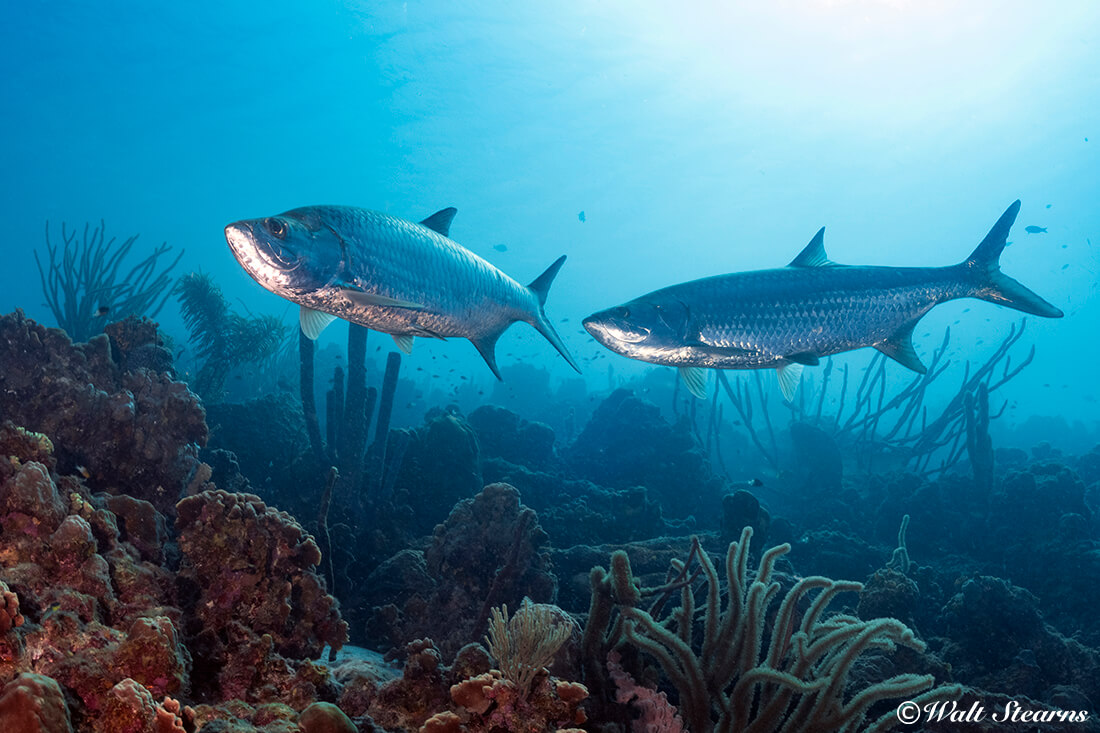 Tarpons often patrol the edge of the reef, and also venture closer to shore, where they may be found in the shadows right under a dock.