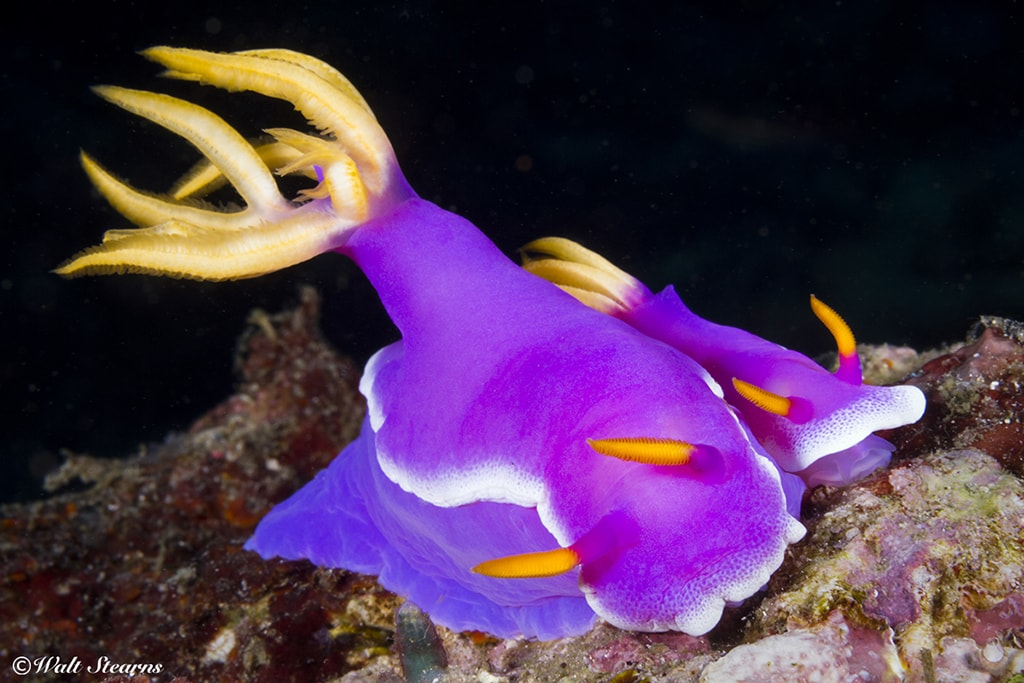 Colorful nudibranchs are just one of the many small finds at Mabul, which is considered one of the finest muck diving sites in Southeast Asia.