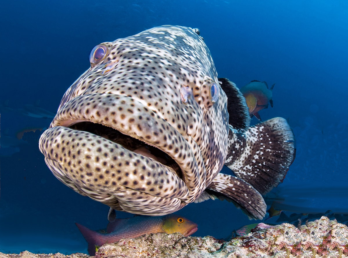 The Namena Marine Reserve provides sanctuary for reef fish such as grouper, which can grow to large sizes in the protected waters. Photo: Markus Roth.