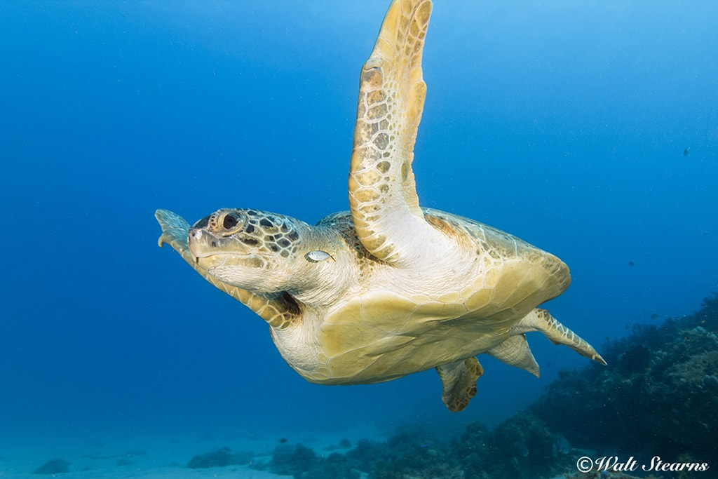 Sea turtles are a common sighting in the waters of Barbados and are especially prevalent around the wrecks found in the Carlisle Bay Marine Park.