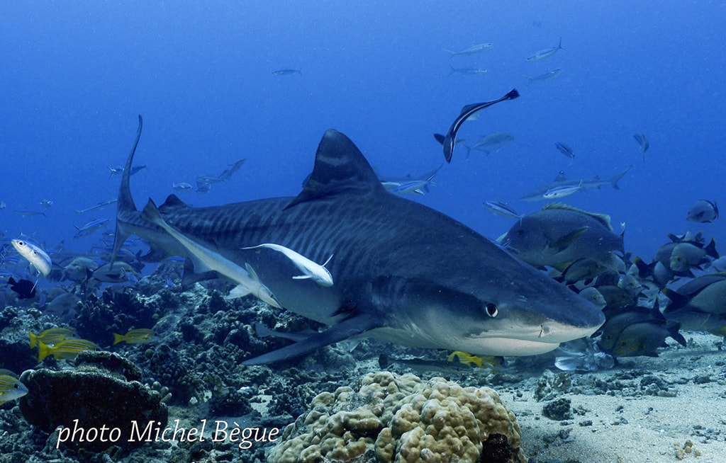 A tiger shark approaches the dive site known as White Valley.