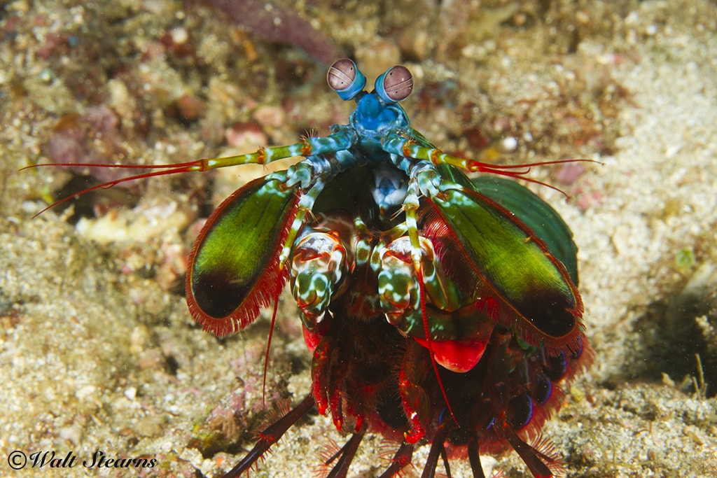 In Puerto Galera, nooks and crevices in reefs hold finds such as this mantis shrimp.