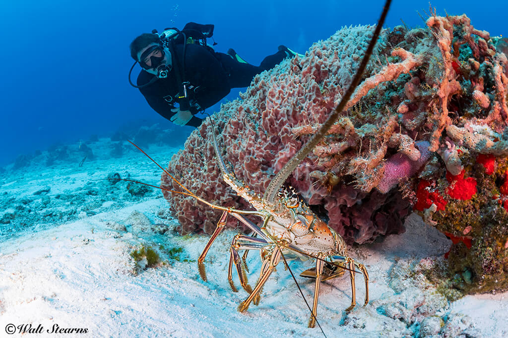 Lobsters are more likely to remain in the shelter of a ledge or crevice during daylight hours, but will sometimes venture into the open.