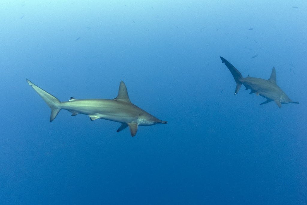 When diving the walls of the Somosomo Straits, keep an eye open for scalloped hammerhead sharks, which will sometimes cruise by in blue water. Photo: Walt Stearns.