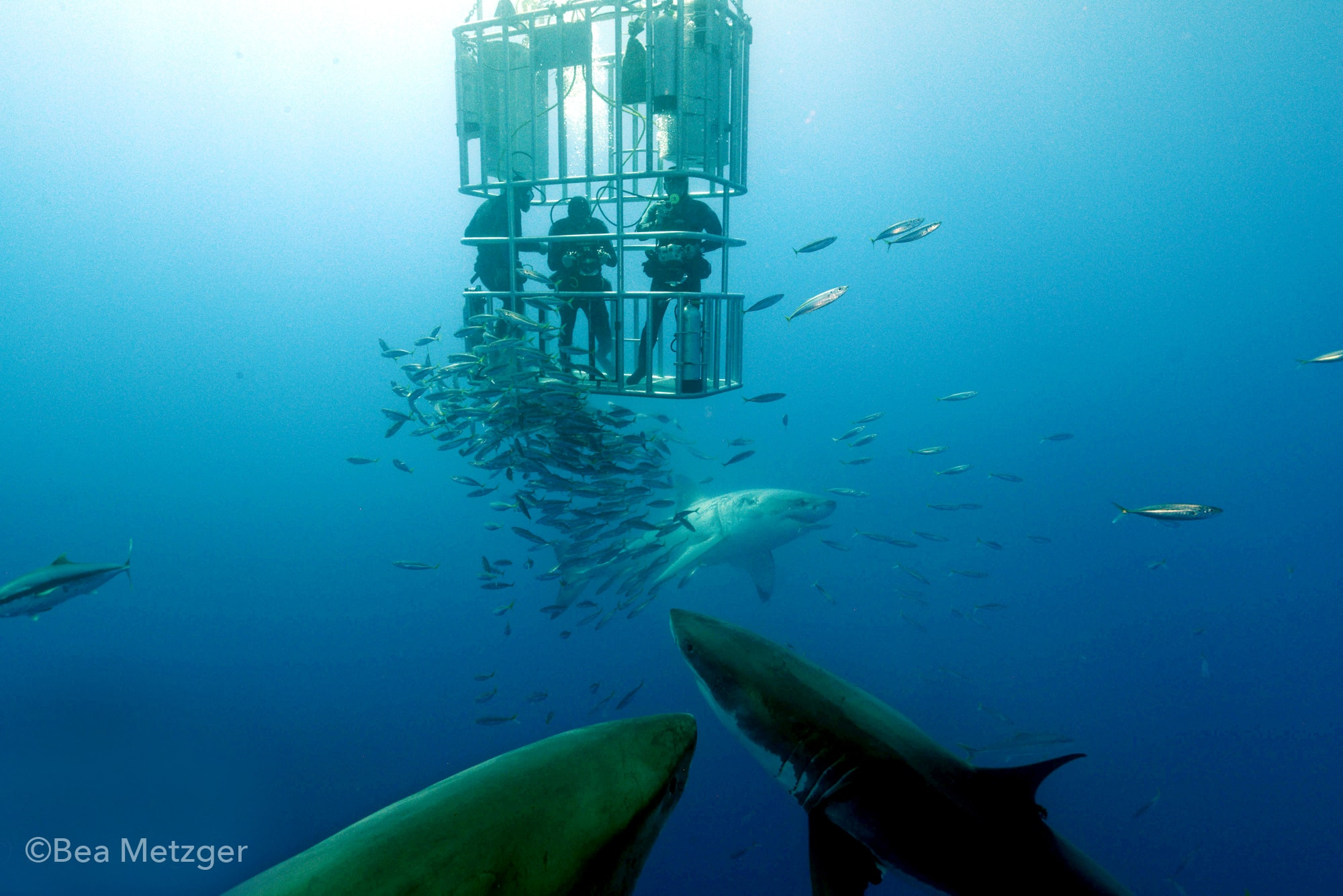 Divers in a submerged cage are treated to a visit by four sharks.