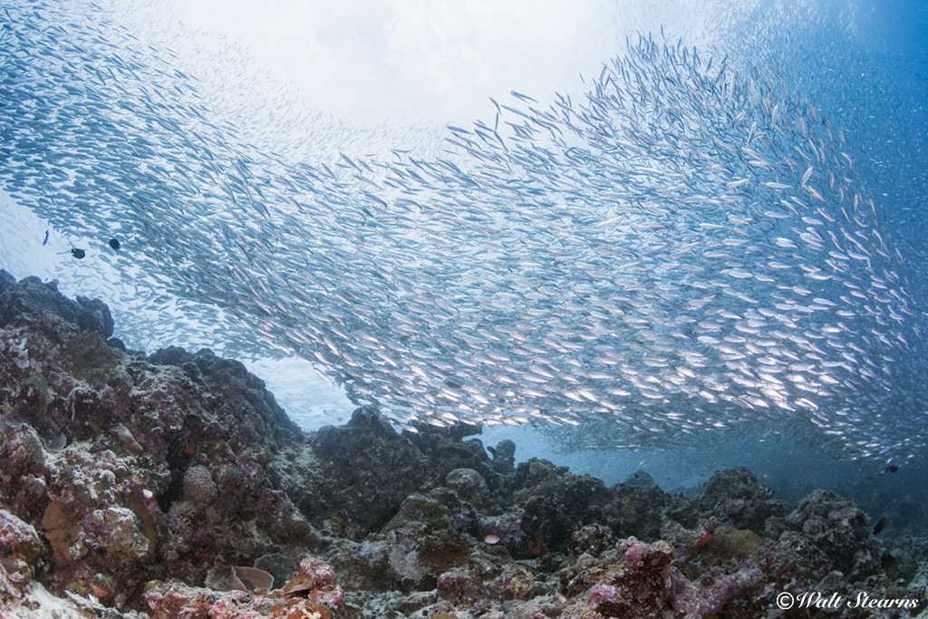 On Cebu's west coast, a swirling silver school of sardines gathers at a site near Moaboal.