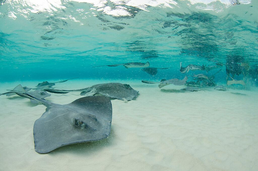 Grand Cayman's Stingray City is the original stingray encounter and considered a must-do experience for many.