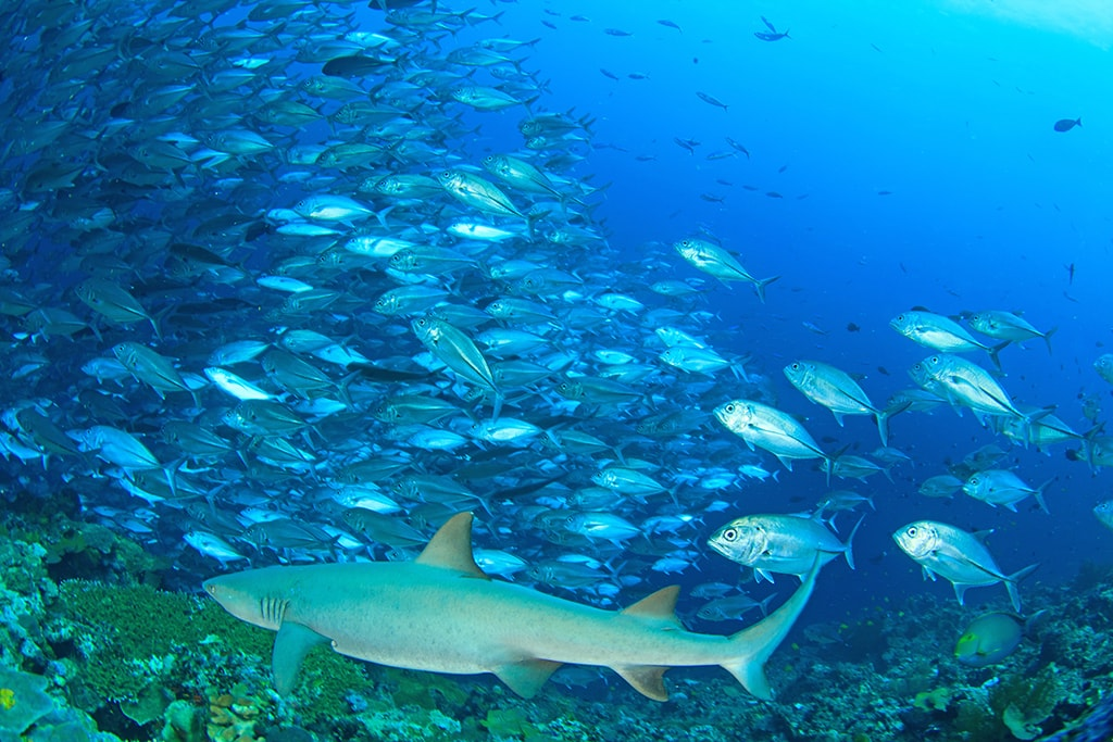The waters of Tioman Island are known for large schools of fish, plus the occasional shark.