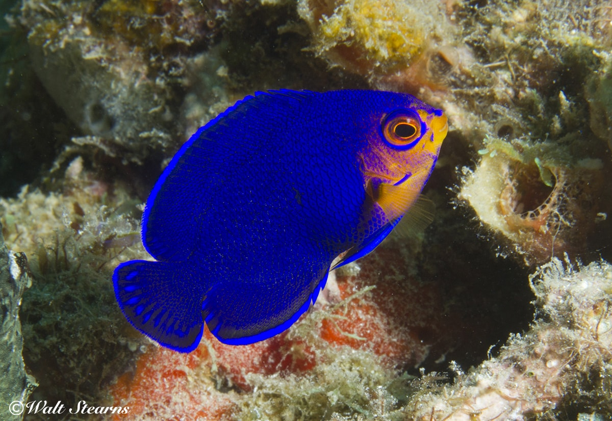Pygmy angelfish are just one of the many colorful tropical species that divers encounter on the reefs of St. Lucia