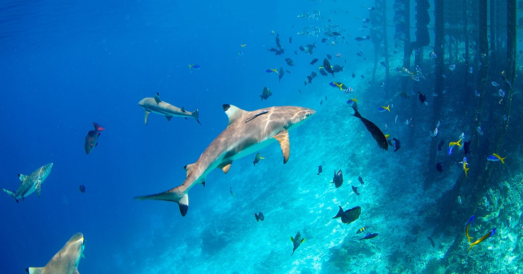Whitetip and blacktip sharks are commonly seen on many dive sites.
