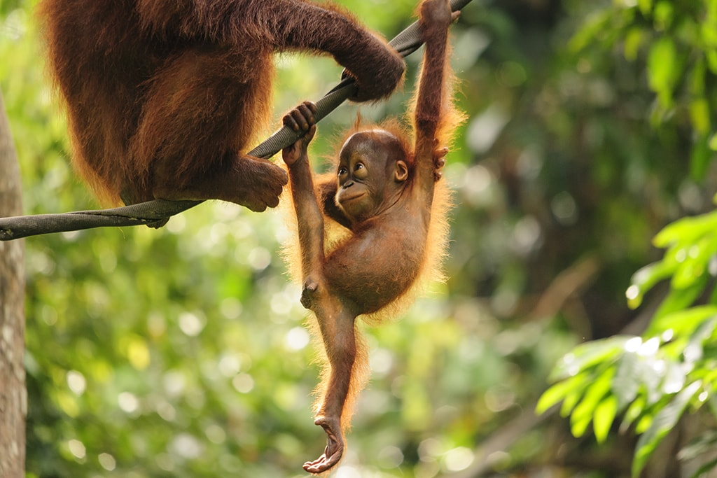 A favorite land tour in Sabah is a visit to the Sepilok Orangutan Rehabilitation Center.