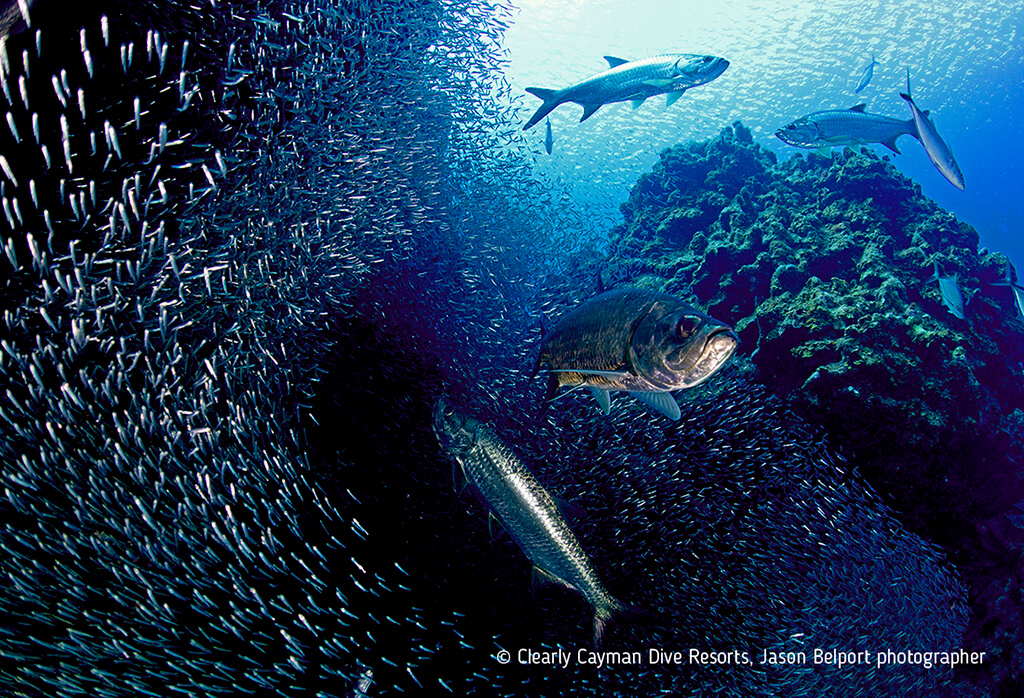 A squadron of tarpon scatter shoals of silversides that seek refuge in Grand Cayman's coral grottoes and canyons.