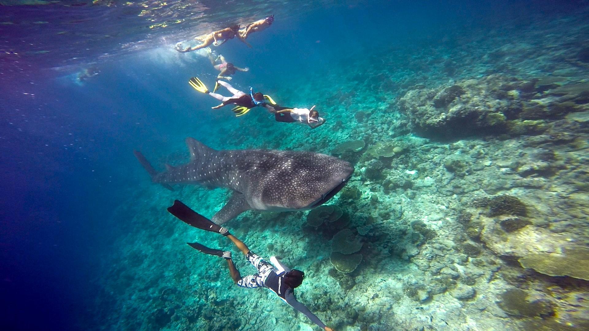 Snorkelers meet up with a whale shark in Hanifaru Bay.