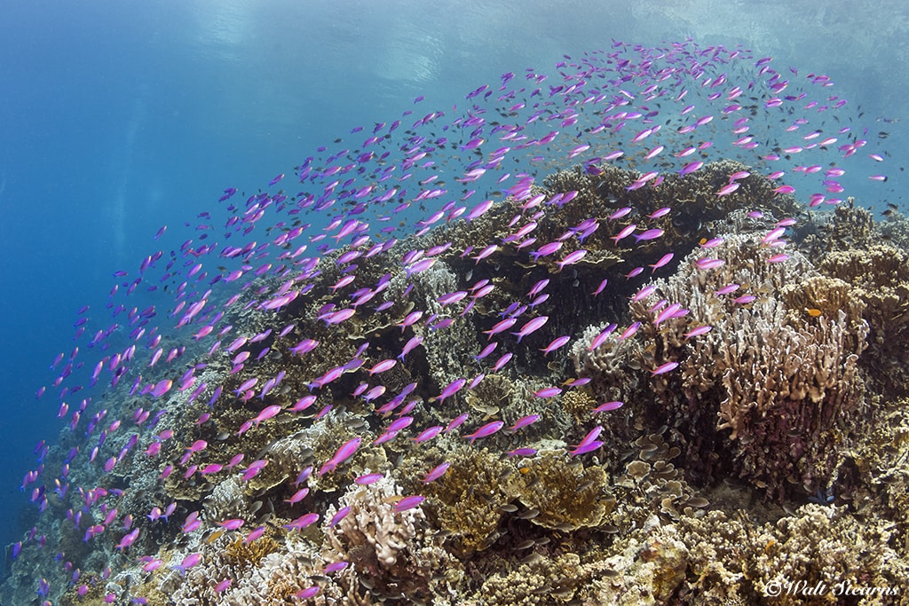 Purple anthias flow over a hard coral formation off Pescador Island, on the west coast of Cebu.