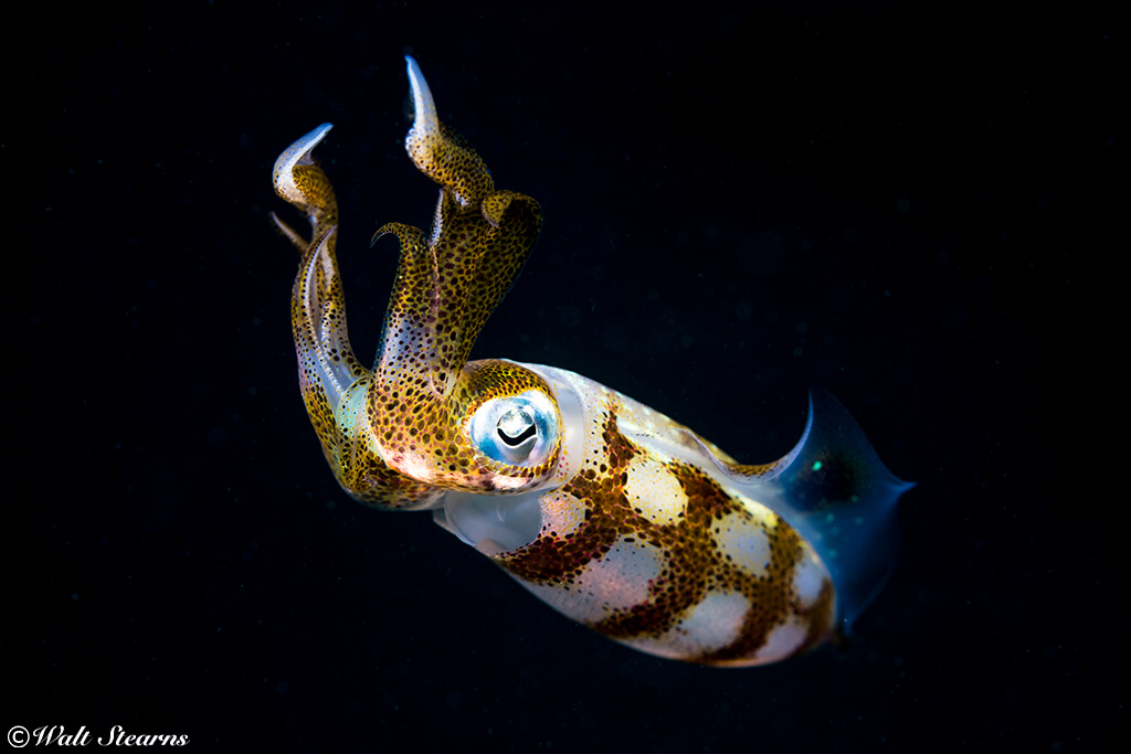 Night dives may reveal squid on the hunt. When caught it the beam of a dive light, these cephalopods can erupt in vivid colors.