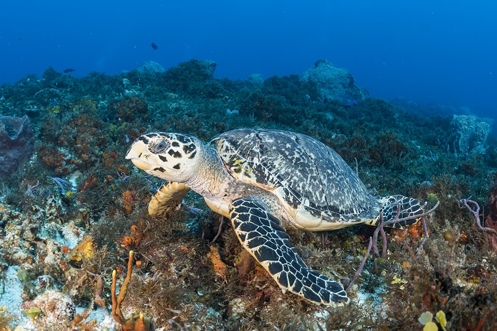 The reefs of Cozumel are home to a resident population of hawksbill turtles.
