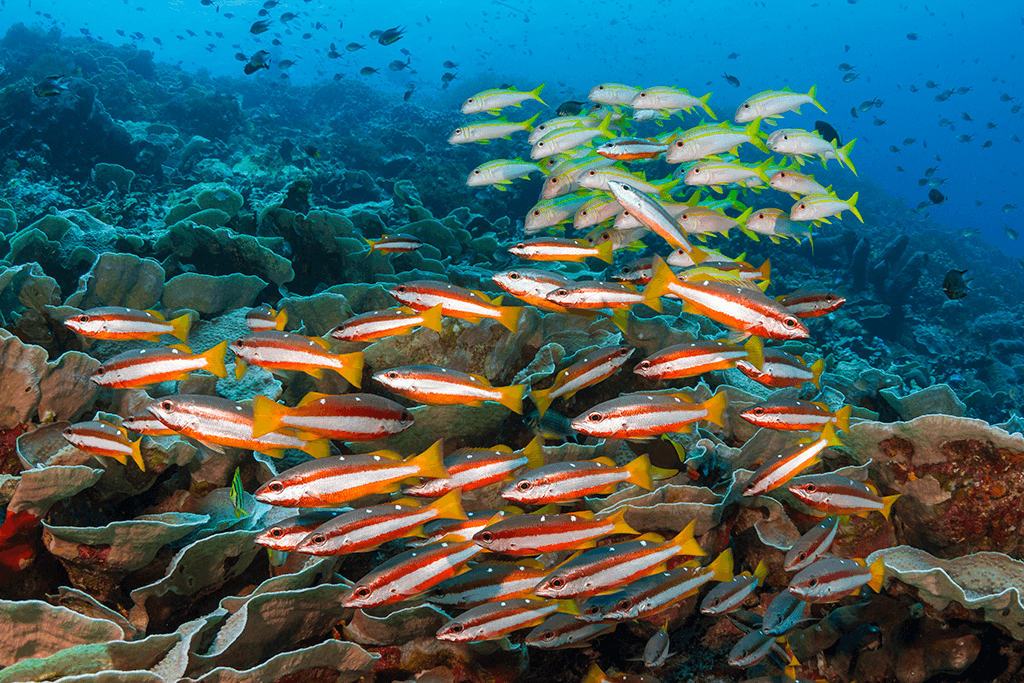 Shoaling behavior can sometimes include fish of disparate sizes, or may include two or more species as part of the whole group such as these Indo-Pacific two-spot snappers with the yellowfin goatfish joining as an associated subgroup.