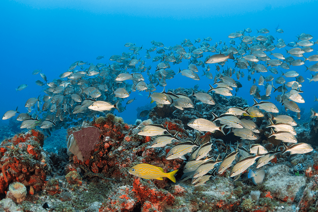 Shoaling behavior can sometimes include two or more species as part of the whole group like this mix of white and cottonwick grunts which make up a large part of this unstructured aggregation of reef fish.