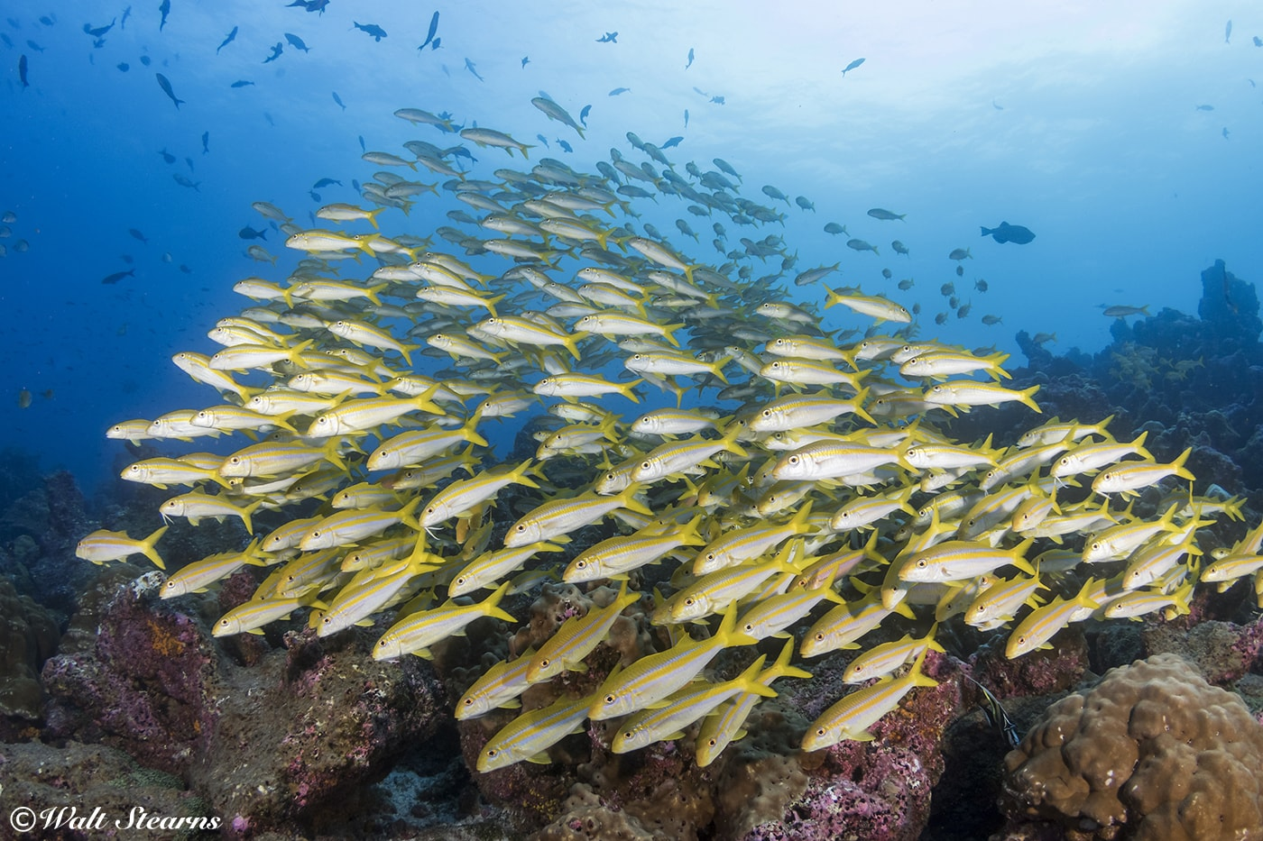 A school of goatfish hovers over a coral-covered rock off Darwin Island.