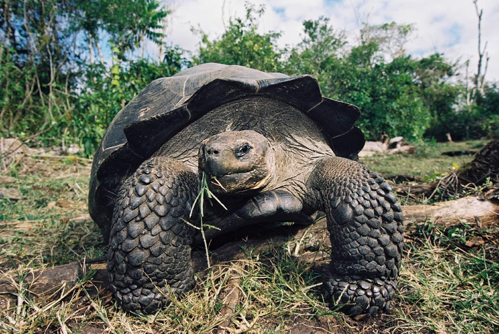 A shore excursion to the Highlands of Santa Cruz to see the islandGÇÖs indigenous species of Galapagos Tortoises in their natural environment is often arranged for guests on the Galapagos Sky.