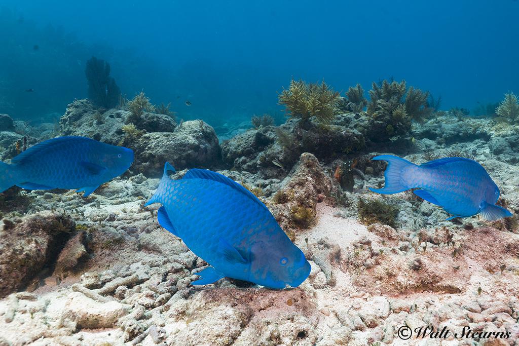 Atlantic Blue Parrotfish