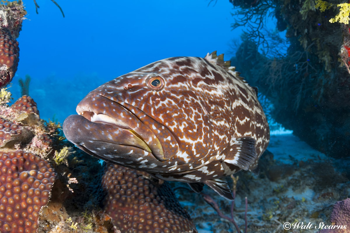 At the southern end of Turneffe Atoll, the site known as The Elbow is a spawning ground for many species of fish, including black grouper.
