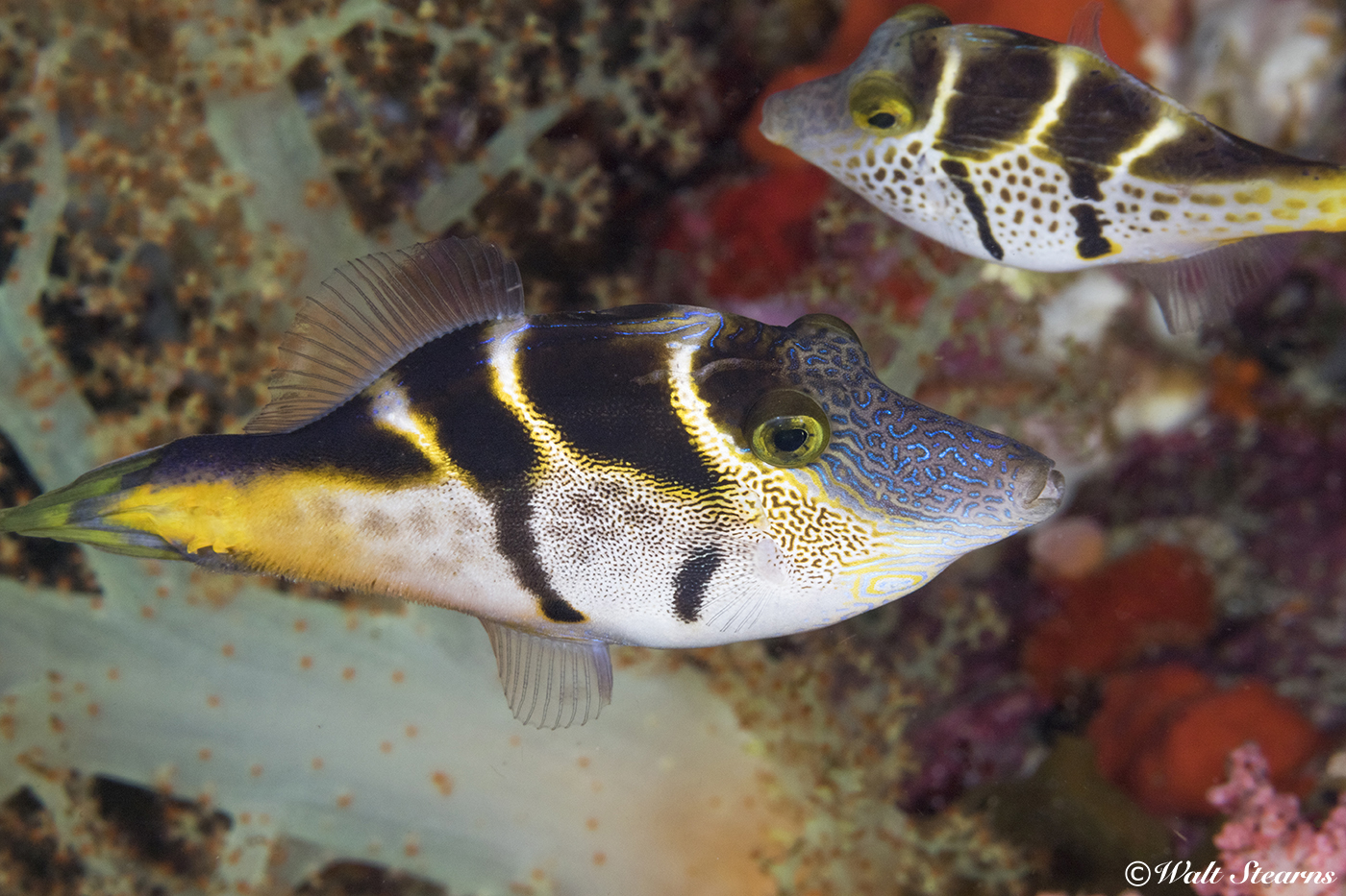 A close relative to triggerfish, the black saddle mimic filefish used deception as a defense. Its body shape and coloration mimic the appearance of the Valentini Puffer, which is highly toxic. Look close and you may notice that the filefish has two dorsal