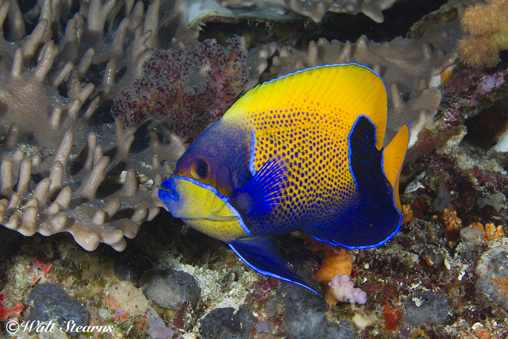 Blue Girdle Angelfish in Raja Ampat