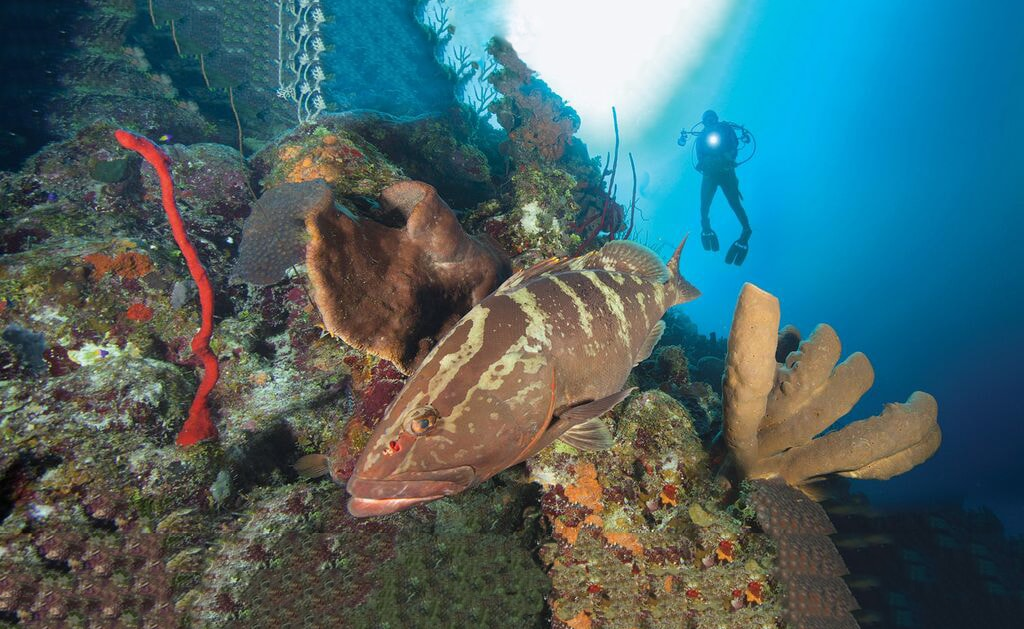 Nassau grouper are often sighted on the walls of Cayman Brac.